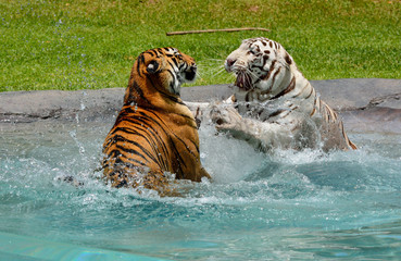 Fotobehang White and Bengali tigers fighting in water.