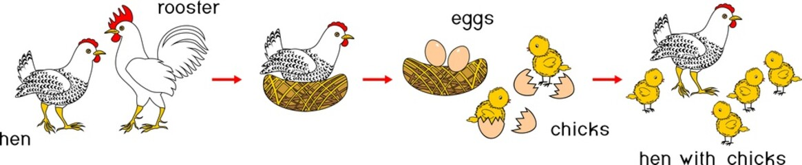 Chicken life cycle with titles. Stages of chicken growth from egg to adult bird