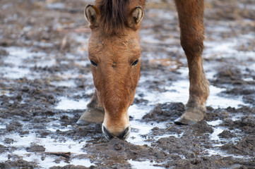 Przewalski wild horses