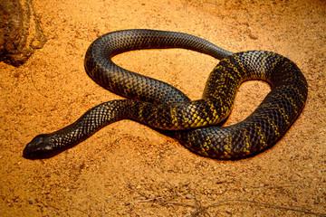 Black tiger snake (Notechis ater humphreysi)