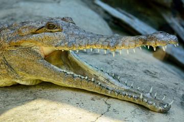 Head of freshwater crocodile (Crocodylus johnsoni)