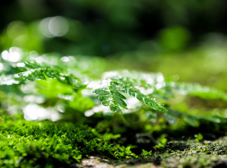 Wall Mural - Freshness green moss and ferns with water drops growing in the rain forest