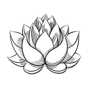 lotus flower bloom.