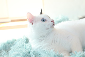 odd eyed white cat lying sideways on a light blue blanket