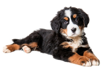 bernese mountain dog puppy isolated on white background