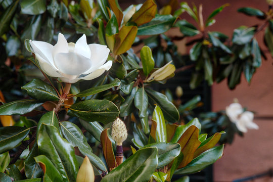 Closeup view of magnolia tree flower