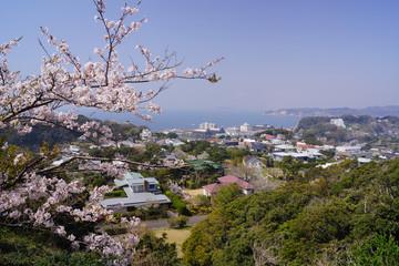 披露山公園 桜