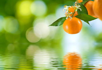 image of branch with mandarins over the water