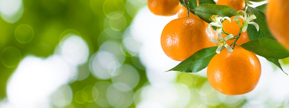 branch with tangerines in the garden on a green background