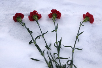 flowers in the snow. carnations in the snow-covered field.