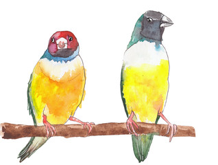 Two little tropical Gouldian Finch birds with emotional faces are sitting on a tree-branch