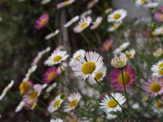 Oxeye Daisy Leucanthemum vulgare. Flowers in Himalaya Mountain.