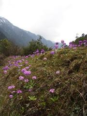 Close up on Verbena Flowers. Verbena hybrida. Pink and Purple Verbena Hybrida blooming in Hamalaya Mountain. Sikkim , India.