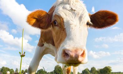 Bio Landwirtschaft, junge Kuh / Kalb in freier Natur