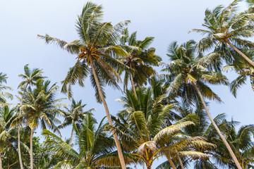 bottom view of palm trees against clear blue sky, sri lanka, unawatuna