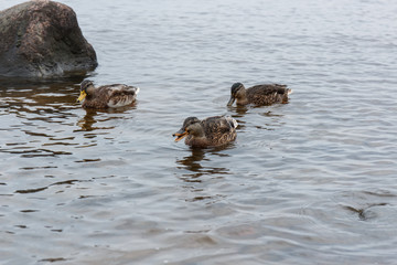 ducks on water in city park pond