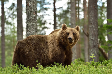 cute brown bear in forest. bear in forest landscape.