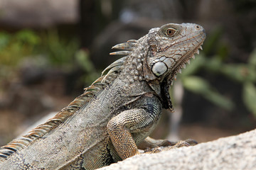 Green iguana sitting on a rock in the countryside, Aruba, Caribbean.