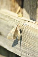 Laothoe populi (poplar hawk-moth) sitting on wooden soft blurry background