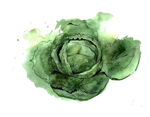 Savoy cabbage. Food illustration watercolor. Isolated on a white background