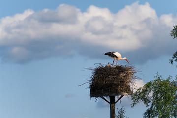 Storch im Nest läuft zwischen Jungtieren herum