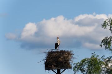 Storch streckt den klappernden Schnabel in den Himmel