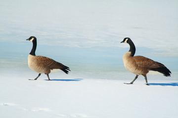 Canada geese walk on ice