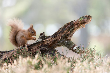 Red Squirrel (Sciurus vulgaris) feeding in pine forest