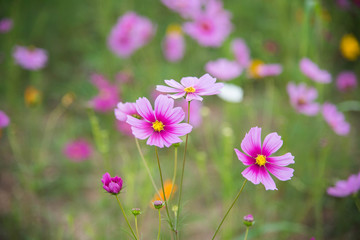 cosmos flowers in the garden in the morning