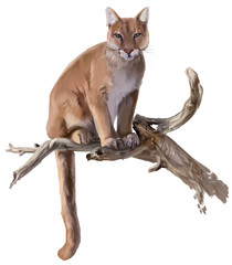 Cougar sits on a dry tree watercolor drawing