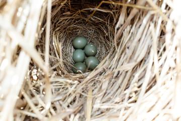Luscinia svecica. The nest of the Bluethroat in nature.