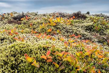 Fotoväggar - bunte Herbstlandschaft mit Polarweide auf Island