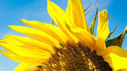 Close-up of colorful sunflower, sunflower's field, blue sky background