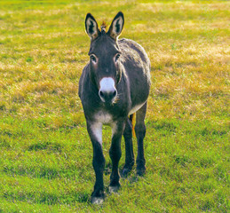 Donkey - in front view. Cute animal standing on a farming pasture with dry grass background.