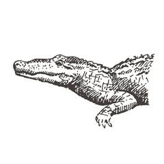 Hand drawn alligator or crocodile. Sketch, vector illustration.