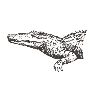 Hand drawn alligator or crocodile. Sketch, vector illustration.