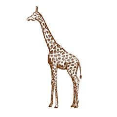 Hand drawn giraffe. Sketch, vector illustration.