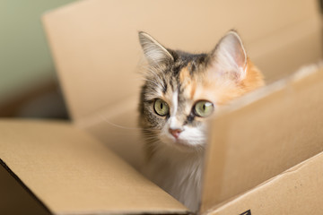 beautiful three color European cat in a delivery box