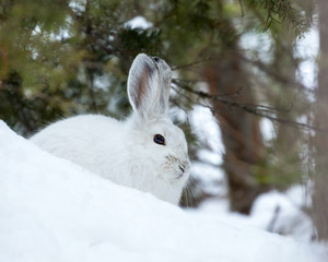 Snowshoe Hare In White