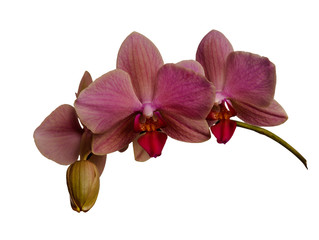 Orchid isolated on white background. There is a way.