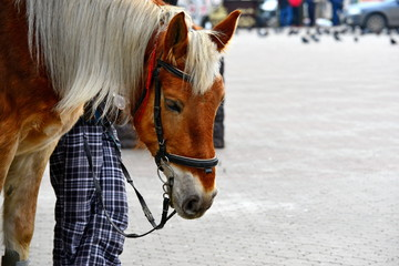 A horse in the city. The head of a horse with a bridle close-up.