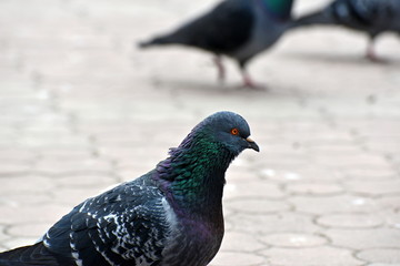 Pigeons close-up in a city on a tile.