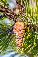 Pine cone on a branch in nature