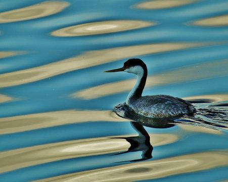 Western grebe lake reflections