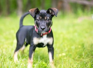 A cute German Shepherd mixed breed puppy outdoors
