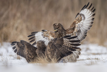 Common buzzards (Buteo buteo) fighting