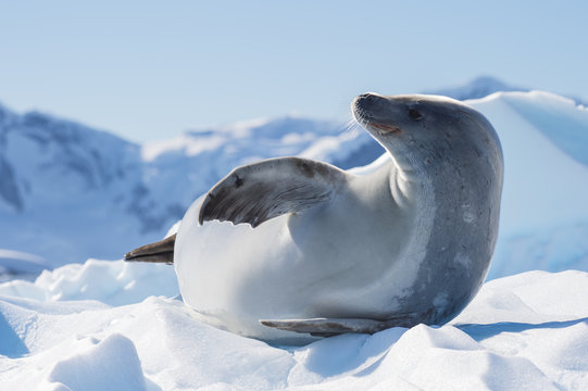 Crabeater seal on ice flow, Antarctica