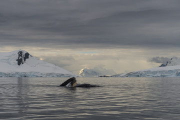 Humpback Whale feeding krill