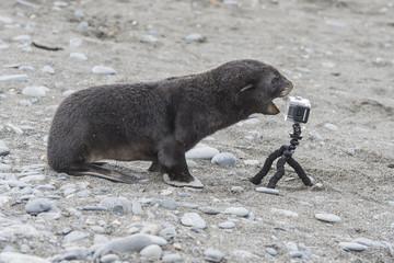 Antarctic fur seal pup close up with camera