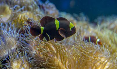 beautiful clownfish in coral bank in the sea